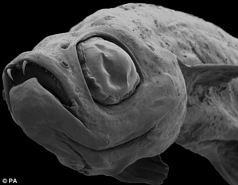 The 'Dracula' Fish