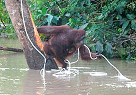 Mother Orangutan Swims to Save Her Baby