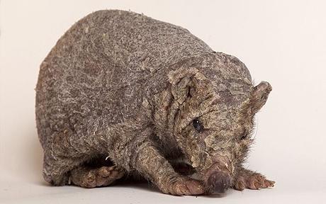 Spineless Hedgehog