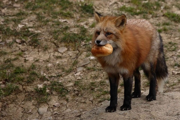 Red Fox is Coming for Dinner!