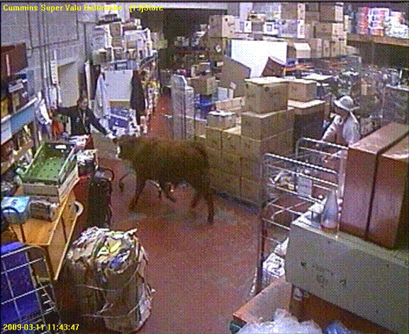 Bull Charges Into Actual Store in Ireland