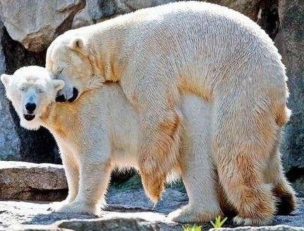 Polar Bear Sex