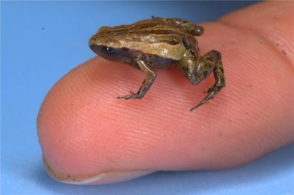 Fingertip Frog