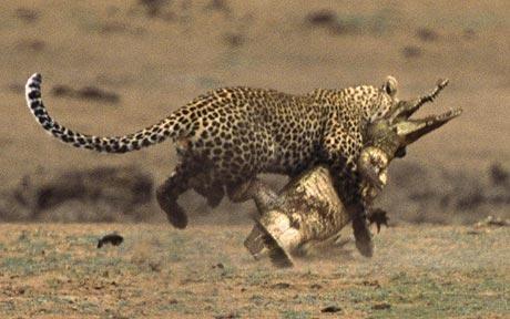 Leopard Attacks Crocodile