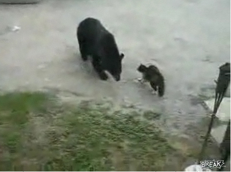 Cat Attacks Bear