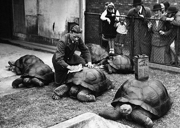 Oiling Tortoises