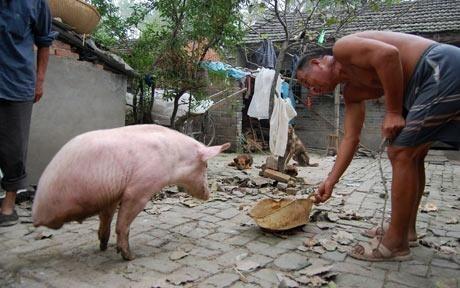 Hamless Pig