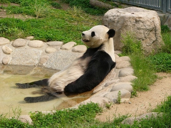 It's Hard Out Here For A Panda