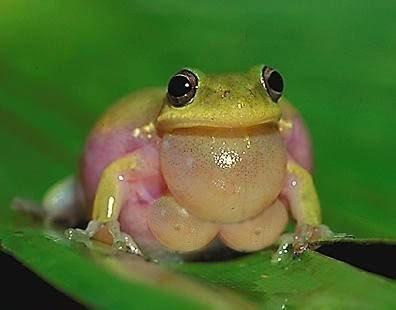 Frog Boobs