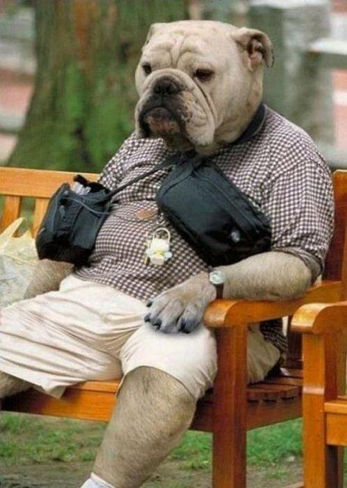 Bulldog Contemplates His Life On Parkbench