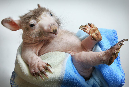 Shrek The Hairless Wombat