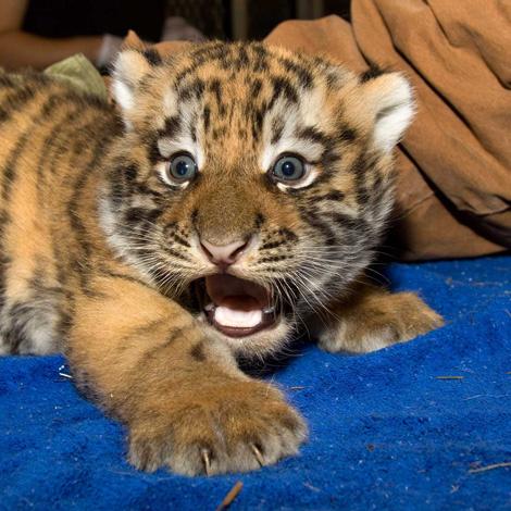 OMG Tiger