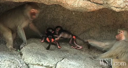 Baby Baboons At Prospect Park Zoo