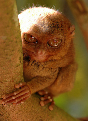 Is a Tarsier Scary Or Cute? | The Featured Creature