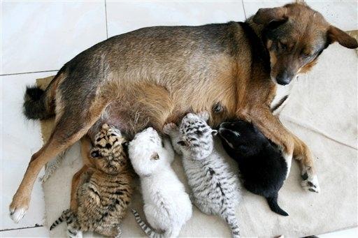 Dog Nurses Tigers