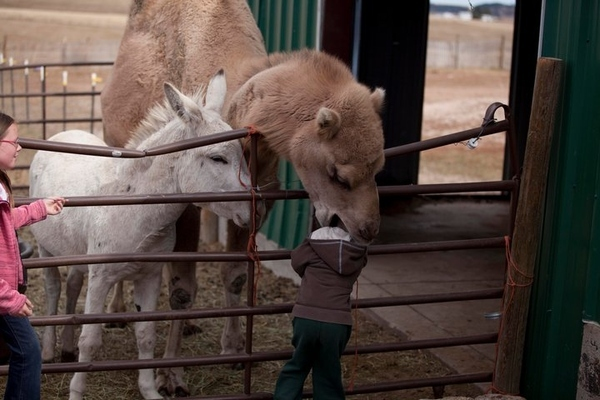 Camel Eats Kid