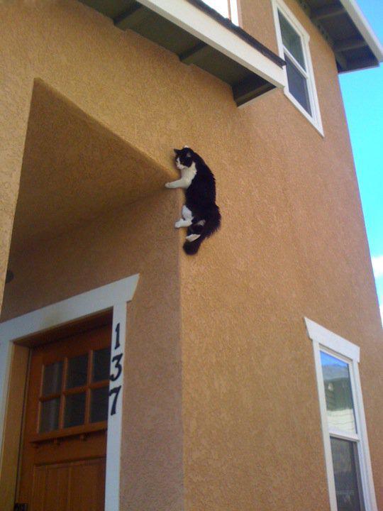 Climbing Cat Needs No Ropes