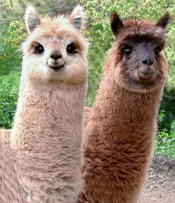 The Llama Test