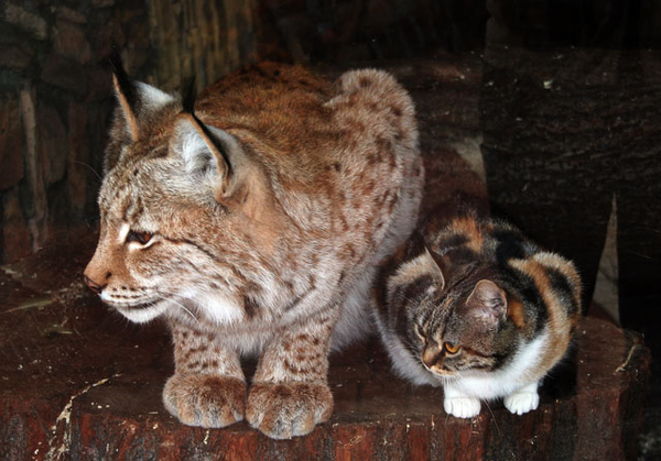 European Lynx & Russian Cat Best Buddies
