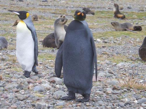Goth Penguin
