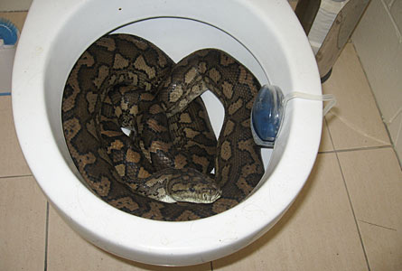 Snakes in a Drain!