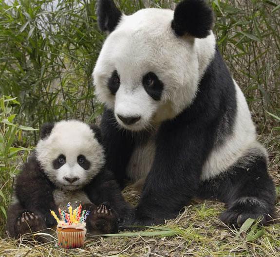 Panda Birthday Celebration