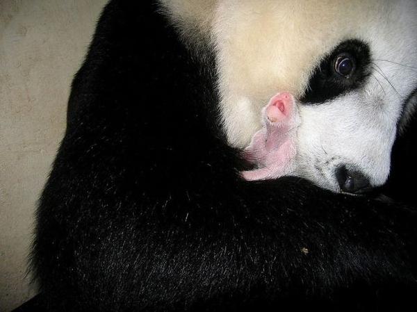 Brand New Baby Panda