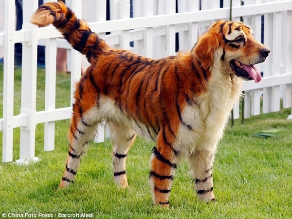 Tiger DOG!