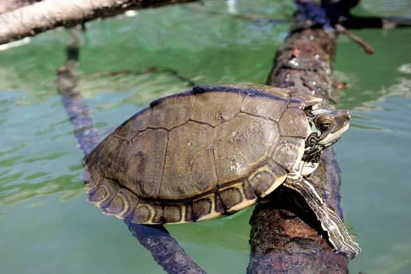New Turtle Species Discovered in Mississippi
