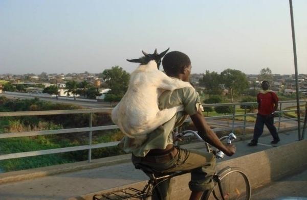 Goat Piggyback Ride