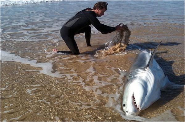 Beached Great White Shark is Saved