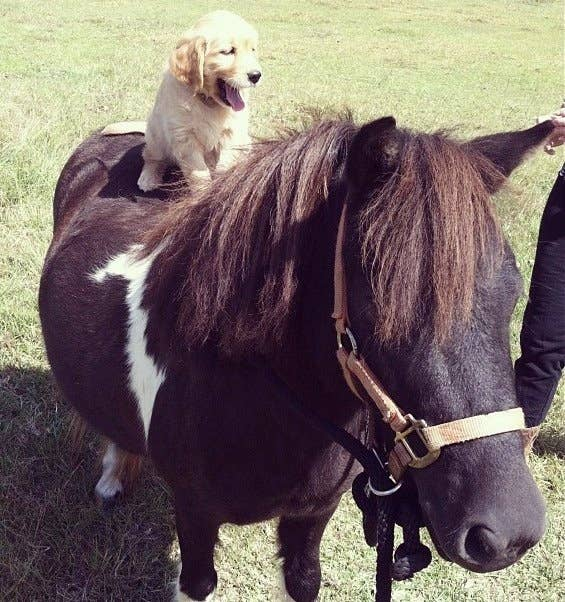 Image result for puppy on horse