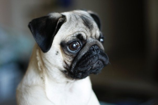 What is This Pug Thinking?