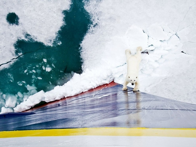 Polar Bear Vs. Icebreaker
