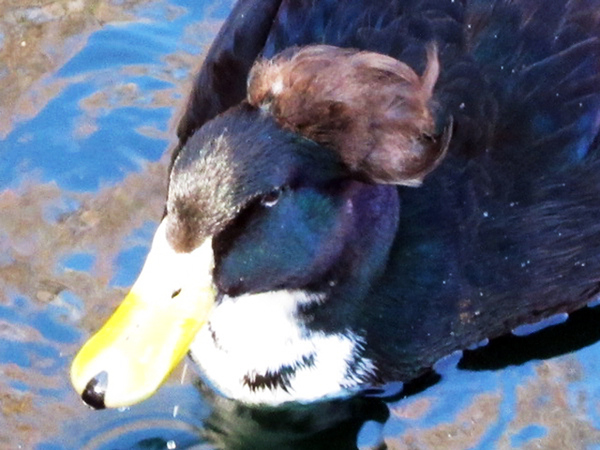Duck With Amazing Hair