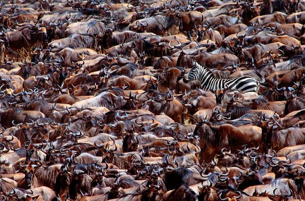 Oops! Wrong Herd