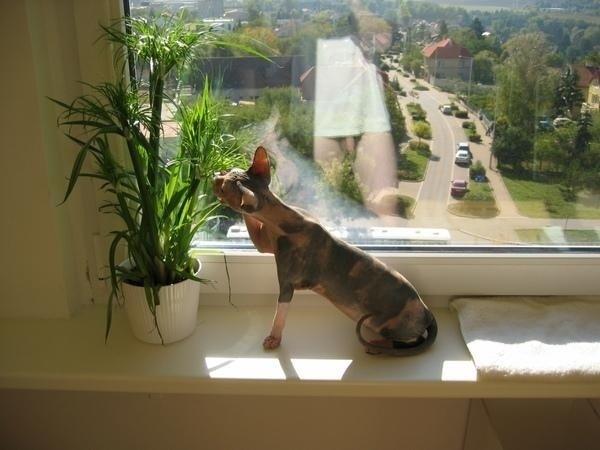 Hairless Cat (NSFW)