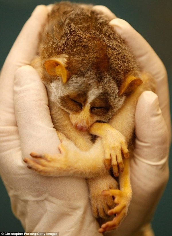 Sleepy Loris