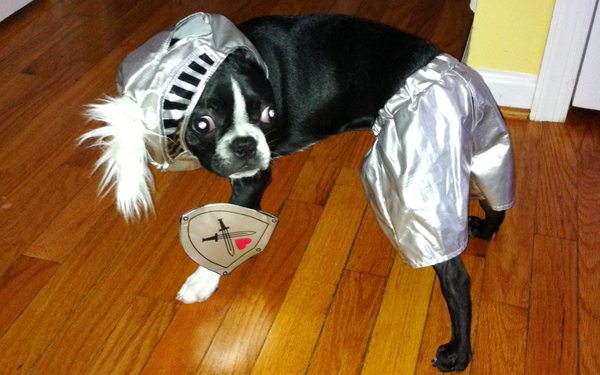 Boston Terrier Protects Owner In Virginia