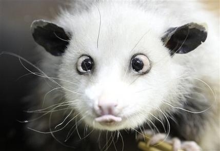 Heidi The Cross-eye Opossum Is Dead