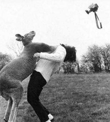 Kangaroo Punches Woman