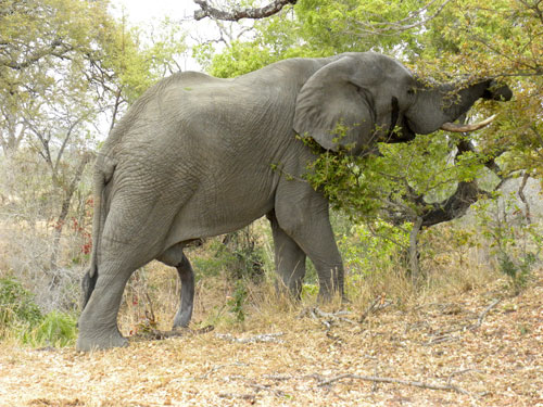 Elephants Have Giant Prehensile Penises