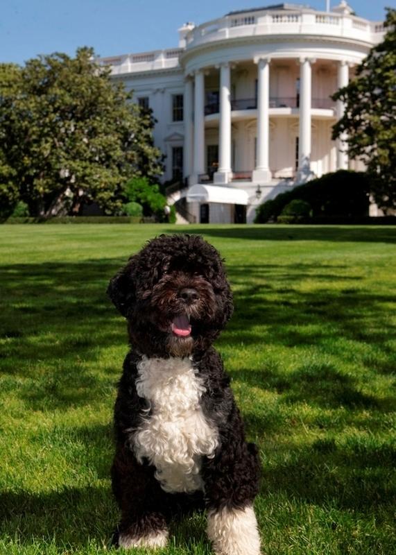 Official White House Portrait of Bo