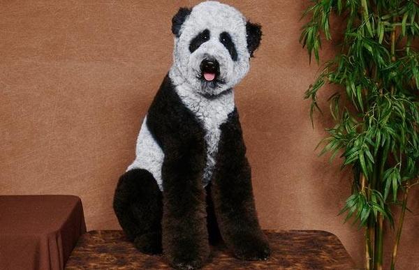 Poodle Panda