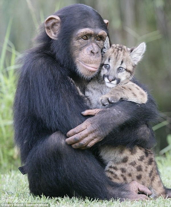 Chimpanzee Cares for Puma Cub
