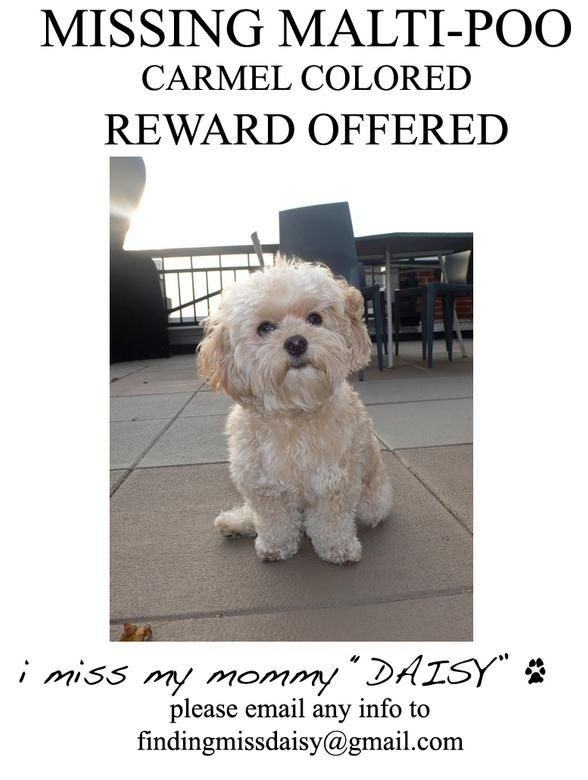 Help Find Daisy, Jessica Simpson's Malti-Poo! It Was Stolen by a Coyote!
