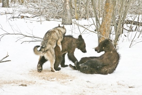 Bears and Wolves Playing!!!