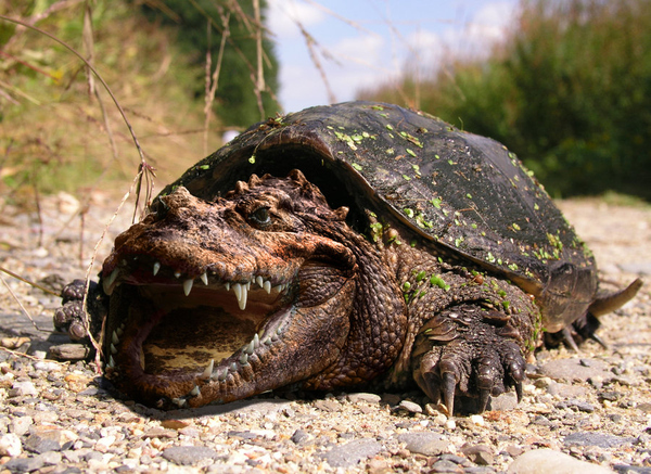 Crocodile Snapping Turtle