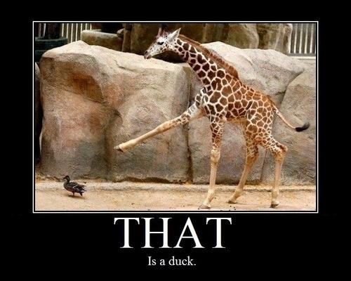 Observant Giraffe
