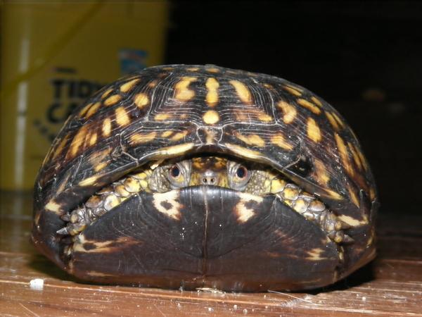 Scaredy-Turtle